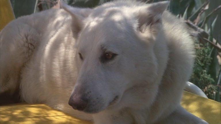 """Samuel Fuller & Ennio Morricone – """"Der Weisse Hund von Beverly Hills"""""""